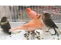 Young Colour factor canaries X2 left