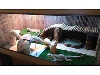 2 X adult female bearded dragons with full set up 4x2x2ft vivarium