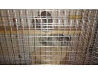 Chinchillas and cage for sale