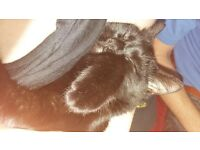 bam bam male black cat 7 months