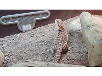 Juvenile male Bearded Dragon and full Vivarium setup everything only 3 months old max