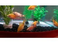 6 rosy barbs for sale. To go as a group.