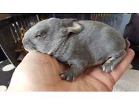 Mini Rex Otter baby Rabbits