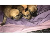 Plummer terrier/beddlington whippet puppys