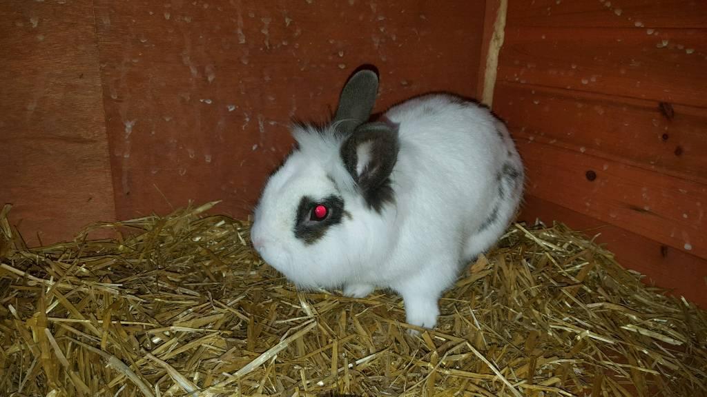 1 male rabbit no cage