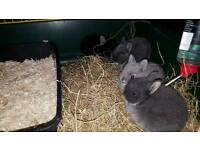 Baby neatherland dwarfs rabbits for sale