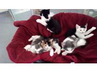 Kittens for sale - £20
