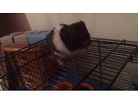 Two 8 Week Old hamsters (male)