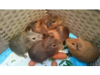 Guinea pig BARAGIN PRICE all male