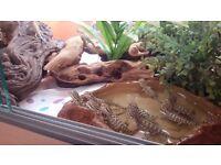 Rankins Lizards / Lawsons Dragon