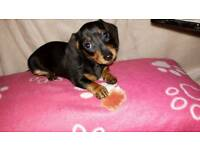 Gorgeous Miniature Dachshund looking for her forever home