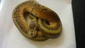 Lemonblast royal python hatchling