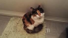Long-haired calico