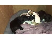 Puppys for sale chihuahua jug