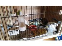 baby budgies maltby s667lp £10 each