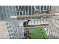 Goldfinch hen for sale.