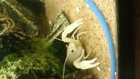 (fish) snow white crayfish.