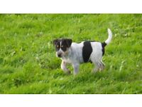 long legged jack russell terrier puppy for sale