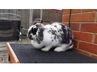 Large White Black & Grey Spotted Bunny Rabbit including large Hutch, Water Bottle, Food, Straw