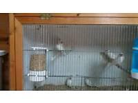 Jawa sparrows