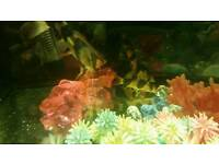 4 Clown Loaches Fish For Sale