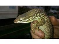 Ackie monitor lizard