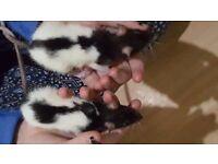 4 FEMALE RATS FOR SALE