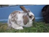 Brown and white mini lop lion head cross male rabbit 9 weeks old ready for loving home.
