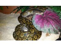 Dwarf Kayuadi Reticulated python