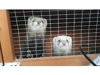 2 male ferrets and cage.