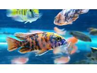 Malawi Cichlids tropical fish
