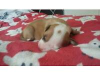 Beautiful red and white Staffy girl for sale