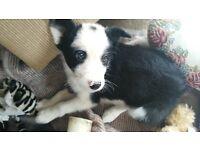 Stunning collie puppy
