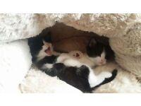 Kittens ready to go soon