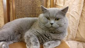 Chunky BSH kittens, one female