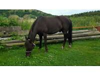 7 year old 13.3 registered new forest gelding for sale