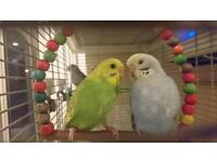 Tamed budgies