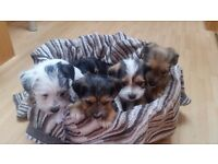 1 left Yorkshire Terrier X Jack Russell