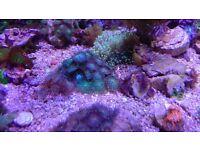 Marine aquarium green palys zoa frag