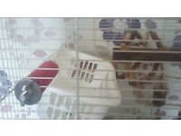 Two rats for sale with cage and toys