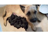 Beautiful black terrier puppies for sale