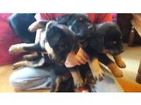 Beautiful Rottweiler pups german blood line