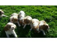 Cavalier king charles spaniel pupps