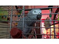 african grey 18 months old