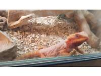 Two female Bearded Dragon and set up (4ft)