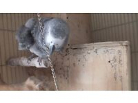 PAIR CONGO AFRICAN GREYS FOR SALE £1500