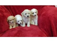 Gorgeous little Shih tzu x poodle puppys for sale