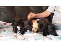 **Gorgeous, Rarely Coloured, Chihuahua X Jack Russell Puppies**
