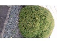Conifer, conifers, thuja