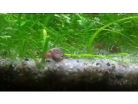 Ramshorn snails for sale (Freshwater aquariums) + FREE MOSS and Plant CUTTINGS